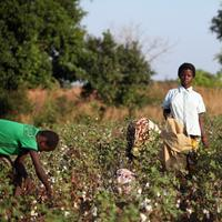 Clarisse Kambire, 13, a child laborer, center, holds a sack used for collecting fair trade organic cotton while other laborers pick cotton during a day's harvesting in a farmer's field near Benvar, Burkina Faso. (Chris Ratcliffe/Bloomberg)