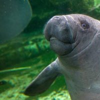 A baby manatee born on April 24, 2014, swims at the Zoo Parc of Beauval on July 19, 2014. (Guillaume Souvant/AFP/Getty Images)