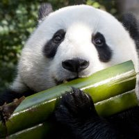 New research examining the genetics of panda waste shows they're not very good at being vegetarian, or digesting bamboo. (Nathan Rupert/Flickr)