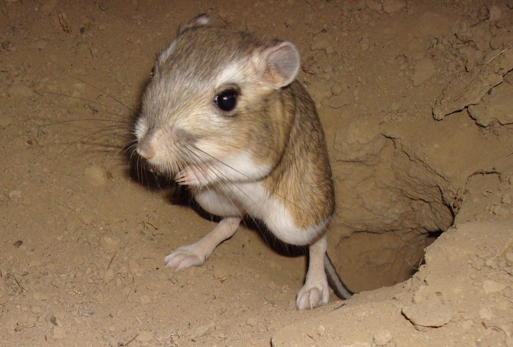 The giant kangaroo rat plays a big role in California's ecosystem. (John Roser/University of California at Berkeley)