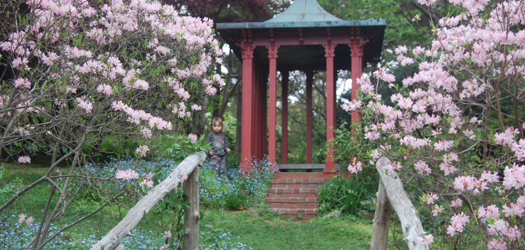 Pinkshell azaleas flank the log stairs and railings going up to the Chinese pagoda. Clouds of blue forget-me-nots hover along the ground. (Greg Cook)