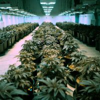Marijuana plants at In Good Health Inc., in Brockton (Jesse Costa/WBUR)