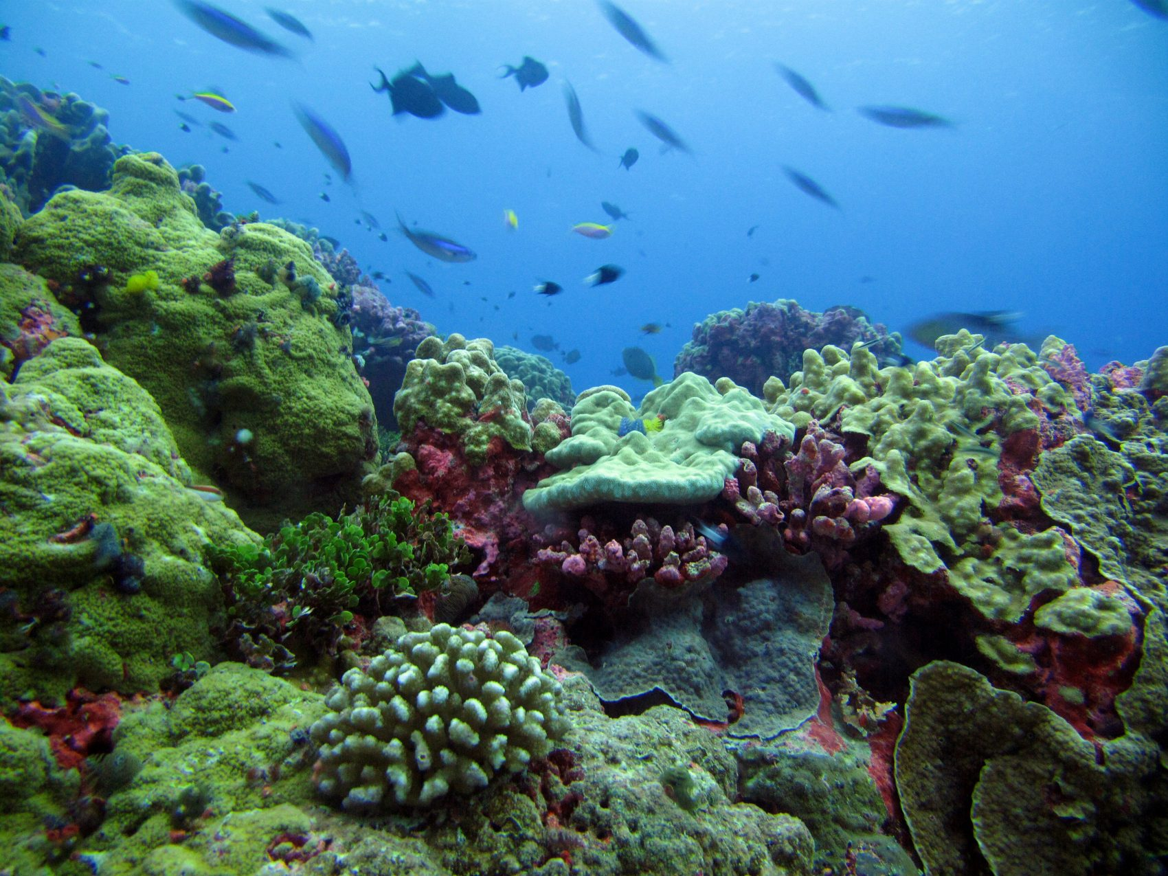 A coral reef off Enderbury Island, a small atoll off Kanton Island in the Pacific Ocean. (Courtesy of Randi Rotjan)
