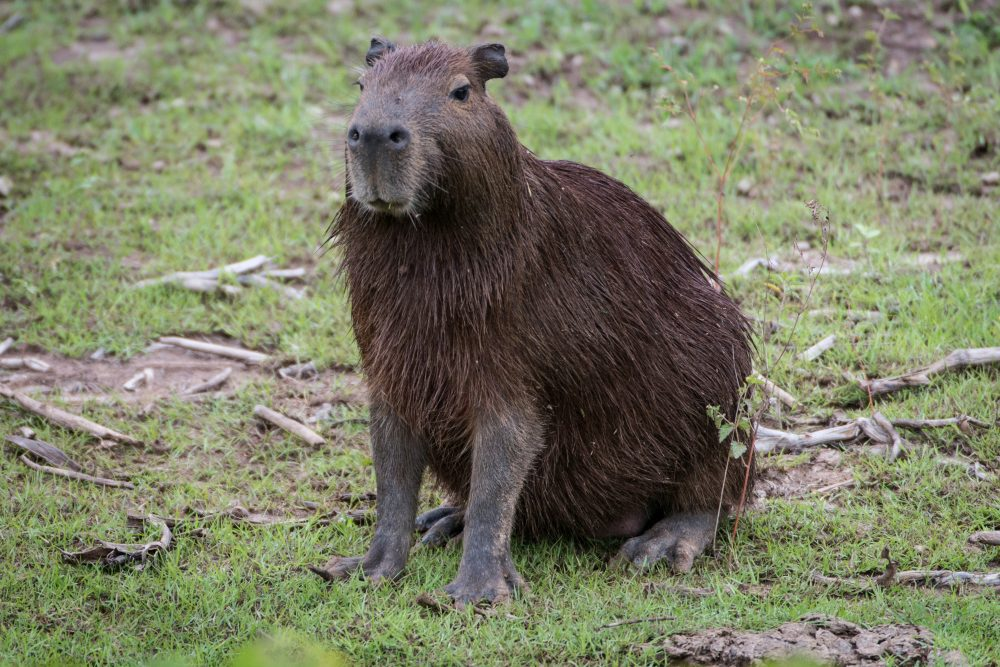 A capybara rests on one of the banks of the Paraguay River in Brazil in April 2013. (Yasuyoshi Chiba/AFP/Getty Images)
