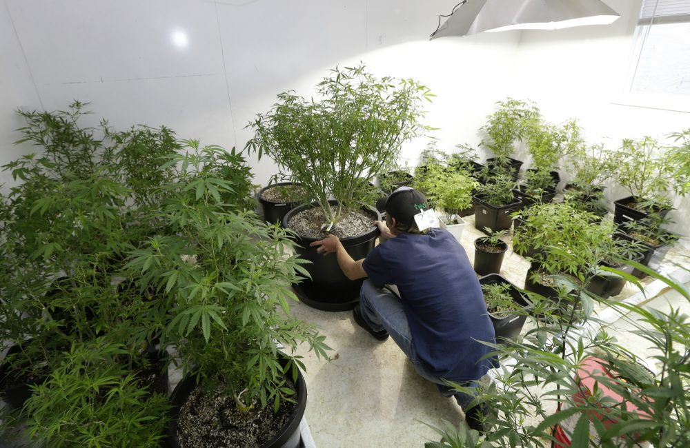 FILE - In this June 25, 2014 file photo, Johnnie Seitz moves a marijuana plant growing under lights at Sea of Green Farms, a recreational pot grower in Seattle. As more marijuana producers move their plants indoors over the next two decades, the grow operations in Washington state are expected to need as much electricity each year as what a small Northwest city consumes, according to an energy forecast by regional power planners. (Ted S. Warren/AP)
