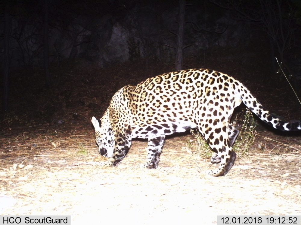 This Dec. 1, 2016 video image provided by Fort Huachuca shows a photo of a wild jaguar in southern Arizona. Authorities say a camera belonging to Fort Huachuca Army installation has captured what is likely the second wild jaguar to be spotted in the U.S. in recent years. (Fort Huachuca via AP)