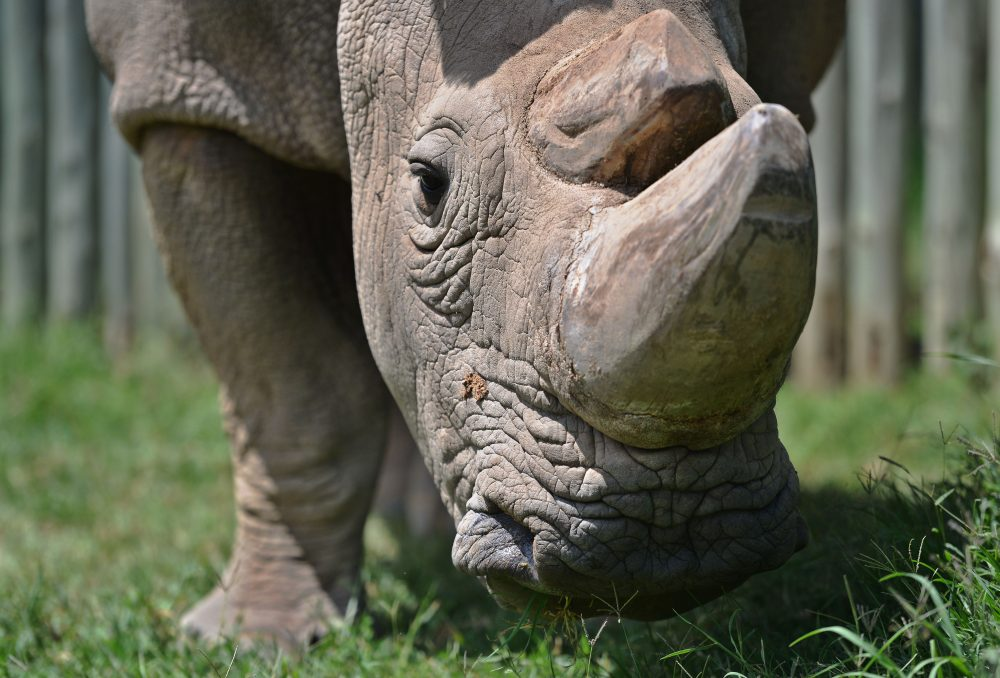 Sudan, the last known male of the northern white rhinoceros subspecies, grazes in his paddock on Dec. 5, 2016, at the Ol Pejeta conservancy in Kenya. (Tony Karumba/AFP/Getty Images)