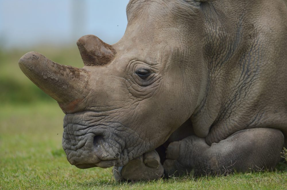 Najin, the older of only two remaining female northern white rhinoceros subspecies, sleeps on Dec. 5, 2016, at the Ol Pejeta conservancy in Kenya. (Tony Karumba/AFP/Getty Images)