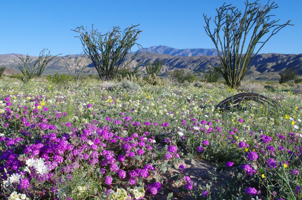 "The ""super bloom"" at  Anza-Borrego Desert State Park in San Diego County. (Courtesy Ranger Steve Bier)"