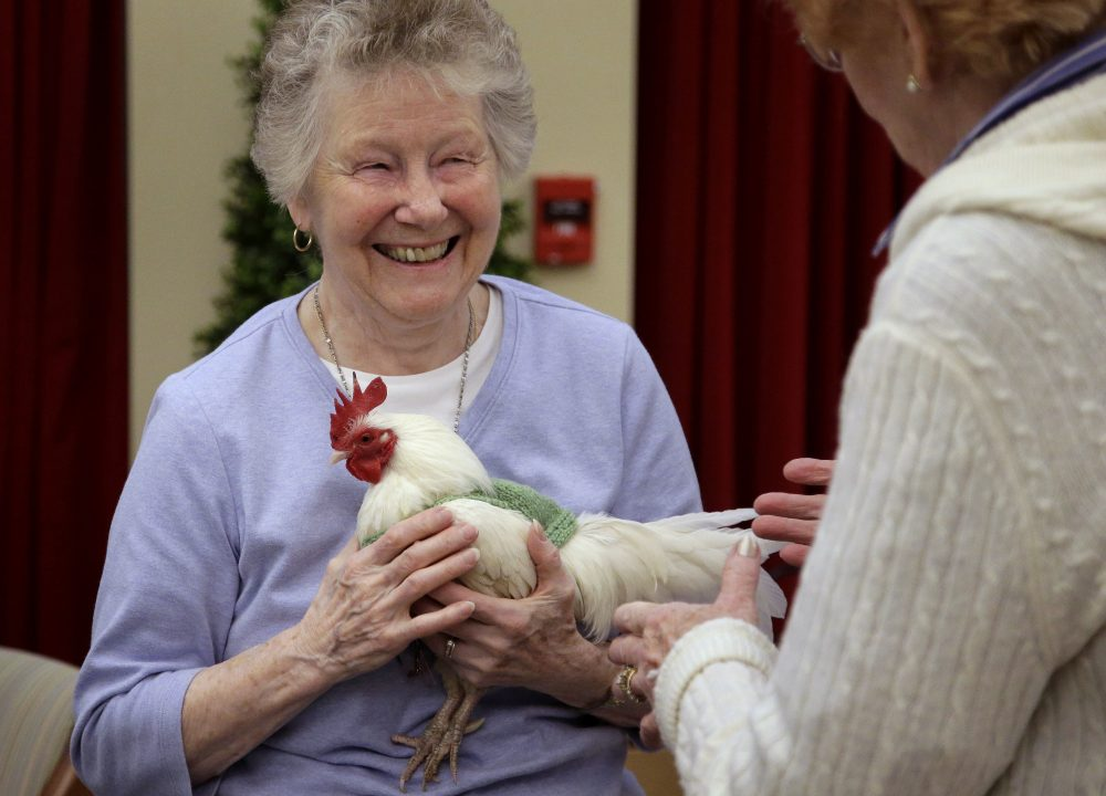 Barbara Stevens holds a rooster. A spokeswoman for the trust where the birds are kept says egg production has jumped noticeably since the the birds began wearing them. (Steven Senne/AP)
