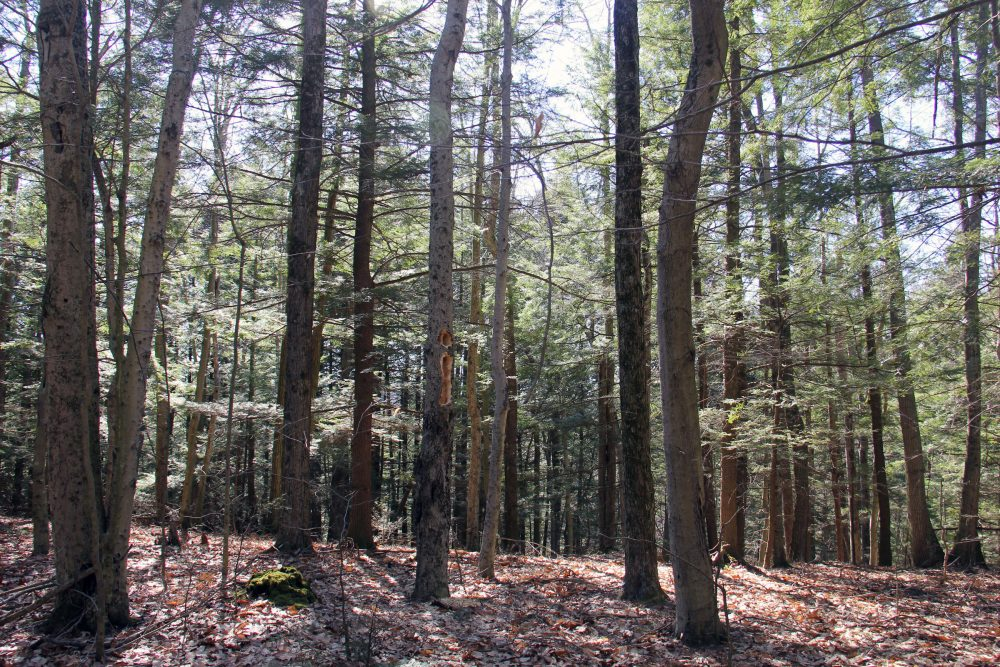 These approximately 150-year-old trees haven't been logged throughout the experiment, and the result is a rather uniform and homogeneous forest with fewer habitat niches. (Courtesy Kathleen Masterson/VPR)