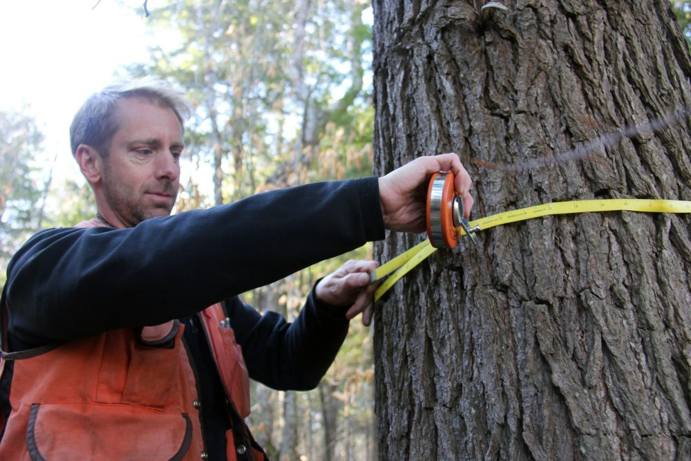 To calculate the amount of carbon stored in any given tree, researchers measure its circumference and height, and take into account its density. (Courtesy Kathleen Masterson/VPR)