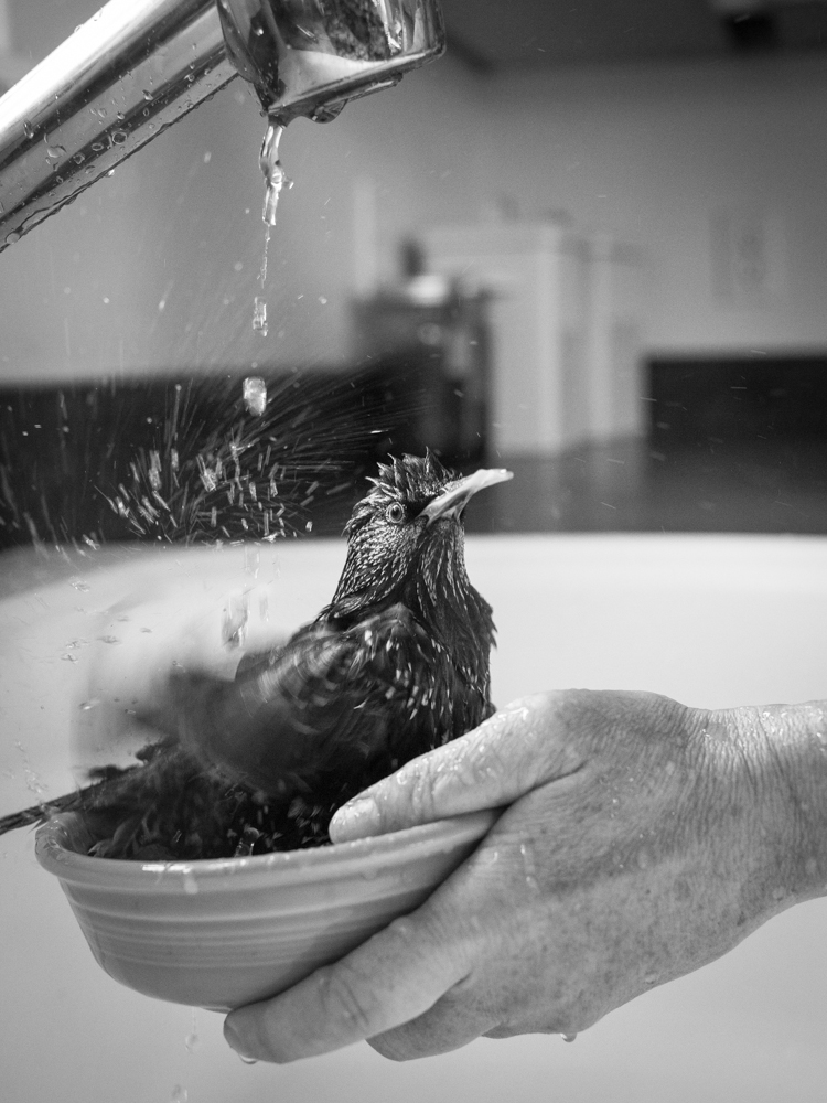 Lyanda Lynn Haupt's starling, Carmen, takes a bath. (Courtesy Little, Brown and Company)