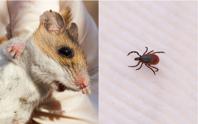 A white-footed mouse, left, and a blacklegged tick (Stephen Reiss for NPR)
