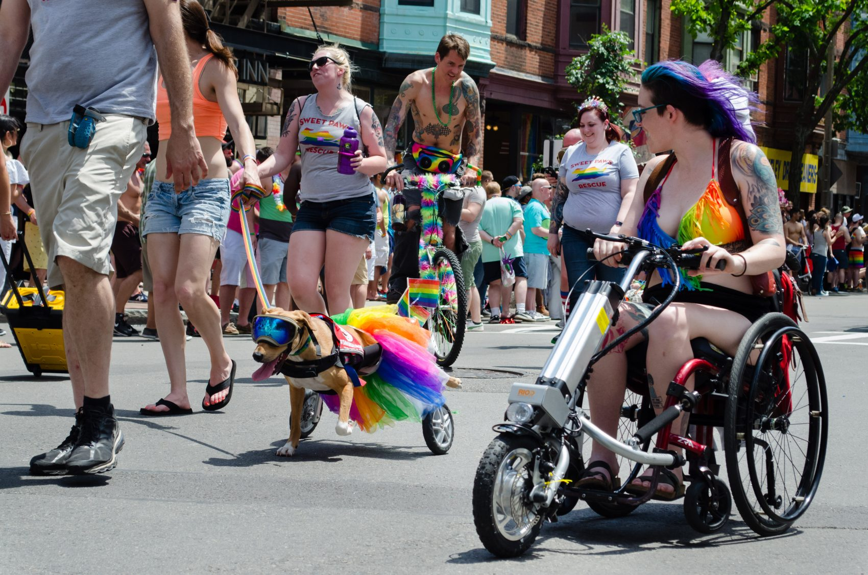 A dog in a wheelchair walking with Sweet Paws Rescue is one of of the many festively dressed pets at the 2017 Boston Pride Parade. (Elizabeth Gillis/WBUR)