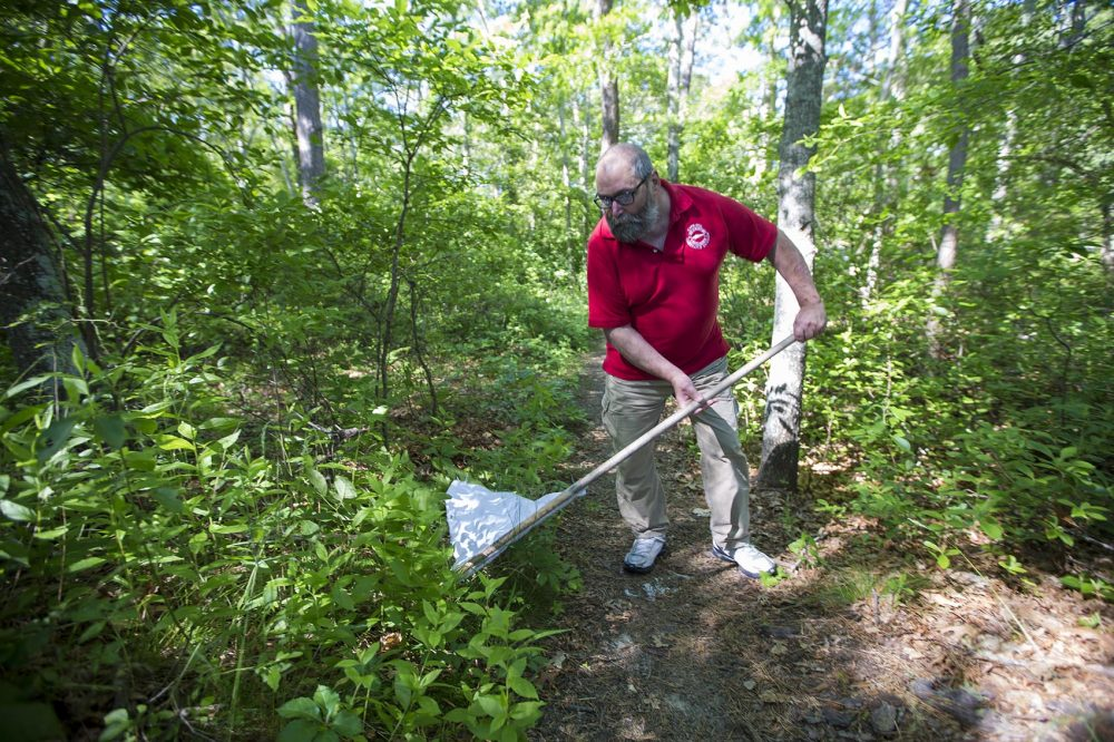 Larry Dapsis, an entomologist and Tick Project coordinator at the Barnstable County Cape Cod Cooperative Extension, sweeps for ticks along a path near Dennis Pond in Yarmouth. (Jesse Costa/WBUR)