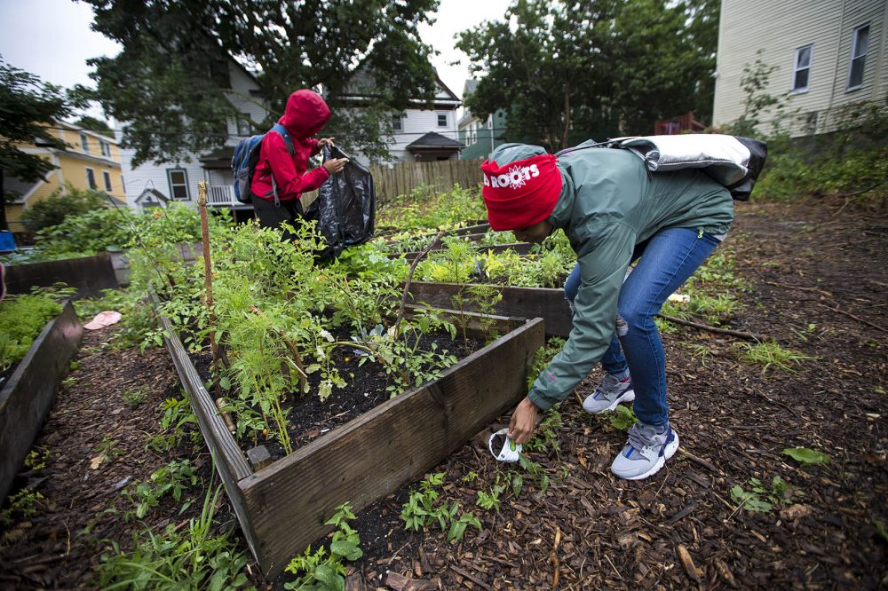 "In the ""Grow Or Die Garden"" on Ellington Street in Dorchester, Kenisha Allen of Mattapan, right, and Keema Green of Dorchester pick up trash that has blown around the raised garden beds. (Jesse Costa/WBUR)"