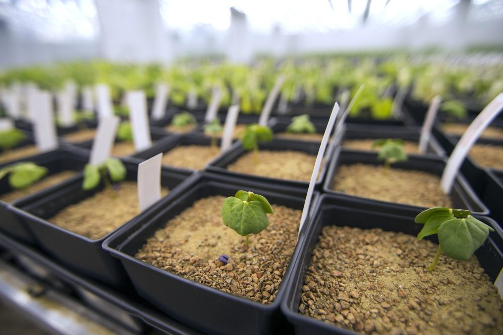 Seedlings of cotton are seen in the grow room at Indigo's Charlestown headquarters. (Jesse Costa/WBUR)