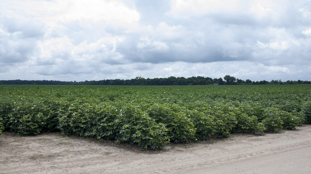 Indigo launched its cotton seeds commercially last year. Chism Craig, an agronomist and farmer, is working with the company throughout the South to test those seeds on farmland, including on this cotton farm in Mississippi. (Caleb Shiver for WBUR)