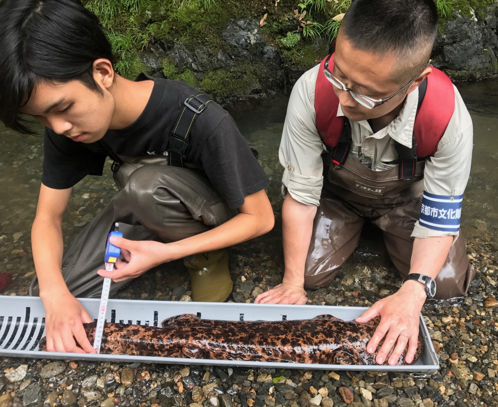 Professor Nishikawa and his assistant Kanto measure a Giant Japanese Salamander in a river outside Kyoto. (Seamus Frawley)