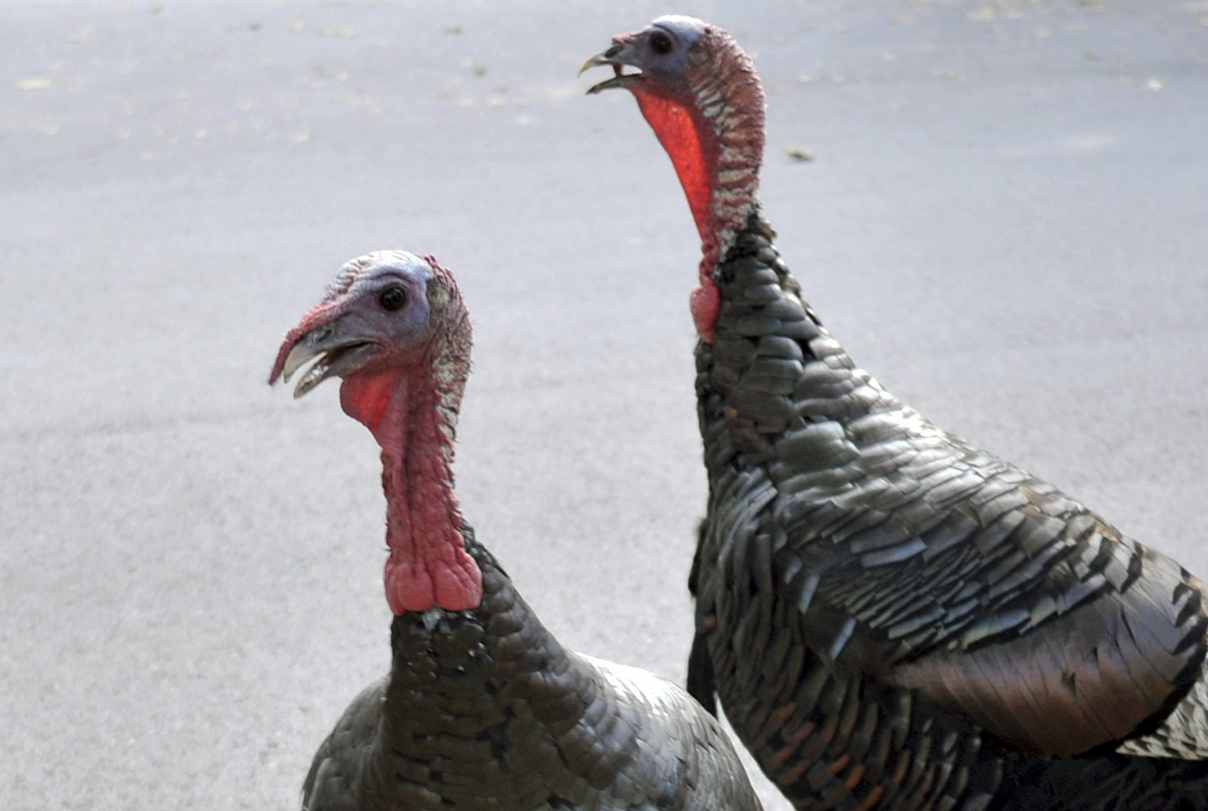 wild turkeys are back trolling greater boston wbur news