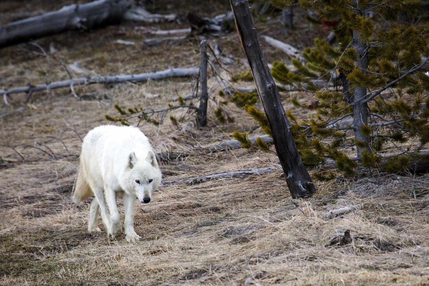 Wolves of yellowstone are back on point in this april 6 2016 file photo provided by the yellowstone national park service biocorpaavc Gallery