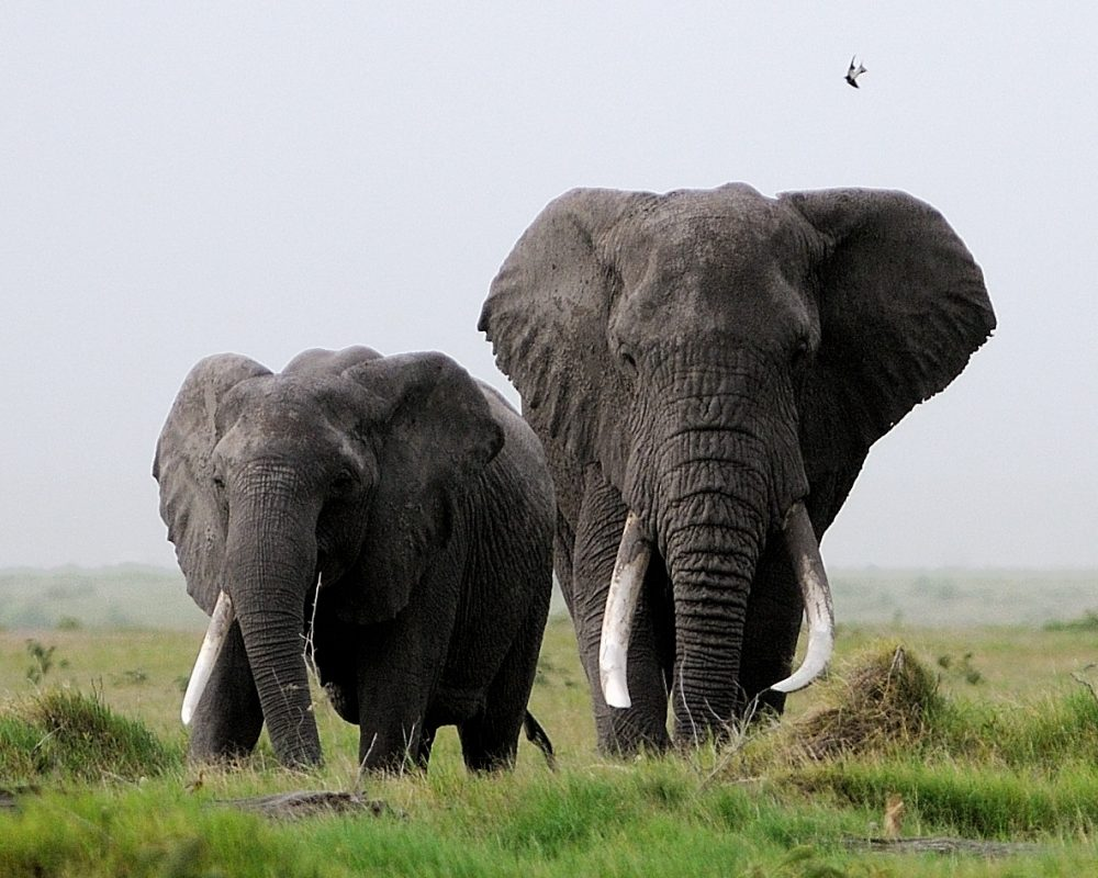 A single-tusked female stands beside a large male in Kenya's Amboseli National Park. The impression that males are not social -- often used to excuse hunting them -- has proven incorrect. (Courtesy, Carl Safina)