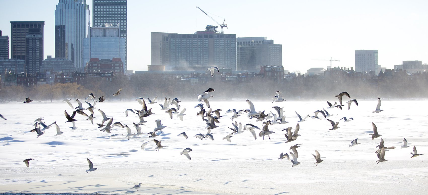 Birds take off from the snowy Charles River after a gust wind spooks them. (Jesse Costa/WBUR)