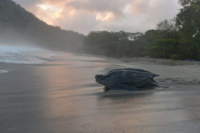 In this May 2, 2013 photo, a leatherback turtle heads back into the ocean after burying her clutch of eggs in the sand at daybreak on a narrow strip of beach in Grande Riviere, Trinidad. (David McFadden/AP)
