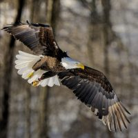 A bald eagle. (Courtesy Bill Byrne/MassWildlife)