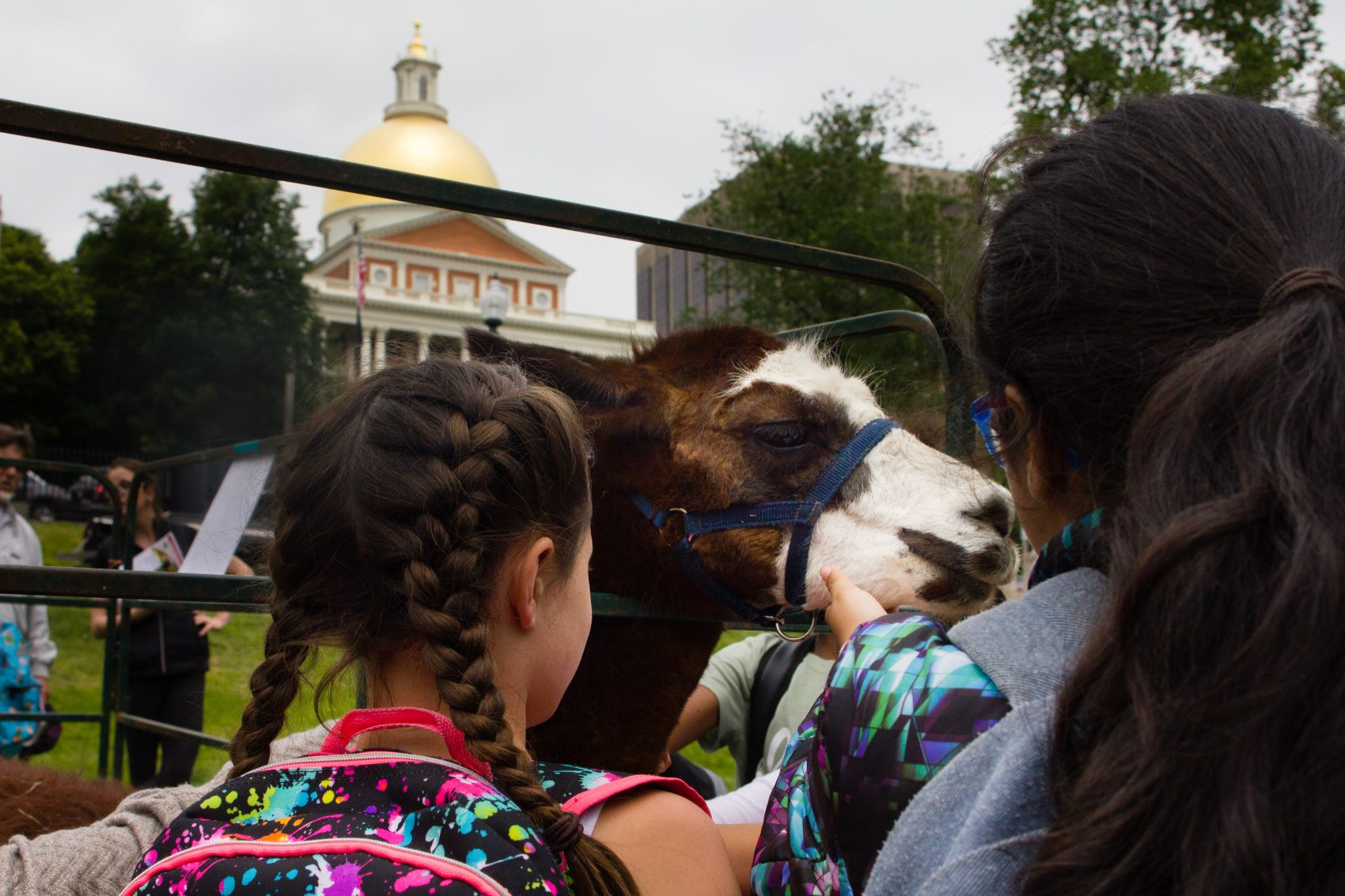 "Tina the llama enjoys getting her chin scratched during the sixth annual Mass. Farm Bureau ""Livestock on the Common."" (Elizabeth Gillis/WBUR)"