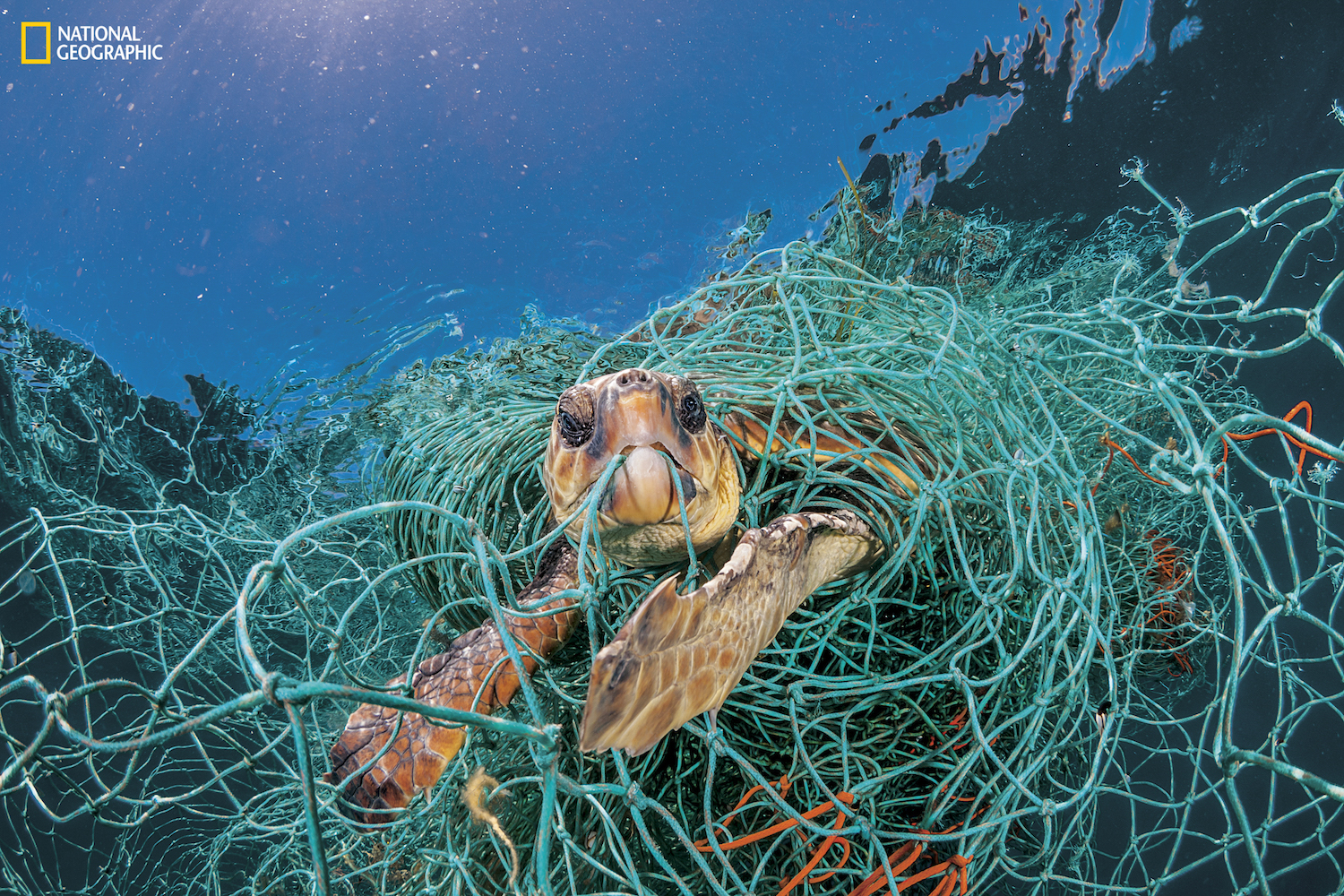 "An old plastic fishing net snares a loggerhead turtle in the Mediterranean off Spain. The turtle could stretch its neck above water to breathe but would have died had the photographer not freed it.""Ghost fishing"" by derelict gear is a big threat to sea turtles. (Courtesy Jordi Chias/National Geographic)"