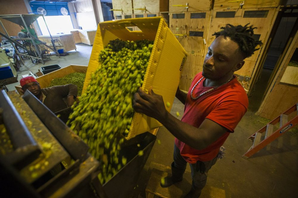 Colin Reid pours Centennial hops into the baling machine at Four Star Farms. (Jesse Costa/WBUR)