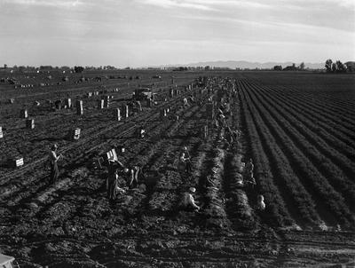 """(Lange) Lange's original caption: """"Near Meloland, Imperial Valley. Feb. 1939. Large-scale agriculture. Gang labor, Mexican and white from the Southwest. Pull, clean, tie, and crate carrots for the eastern market for 11¢ per crate of 48 bunches. Many can make barely $1 a day. Heavy over-supply of labor and competition for jobs is keen."""""""