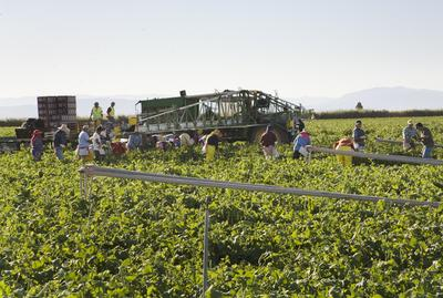 (Anne Whiston Spirn) January 13, 2009. Near Brawley, Imperial Valley, California. Workers cut, pack, and load broccoli in the field. 85-90 percent of these workers are Mexicans who cross the border every day between 3-4AM in order to obtain work.