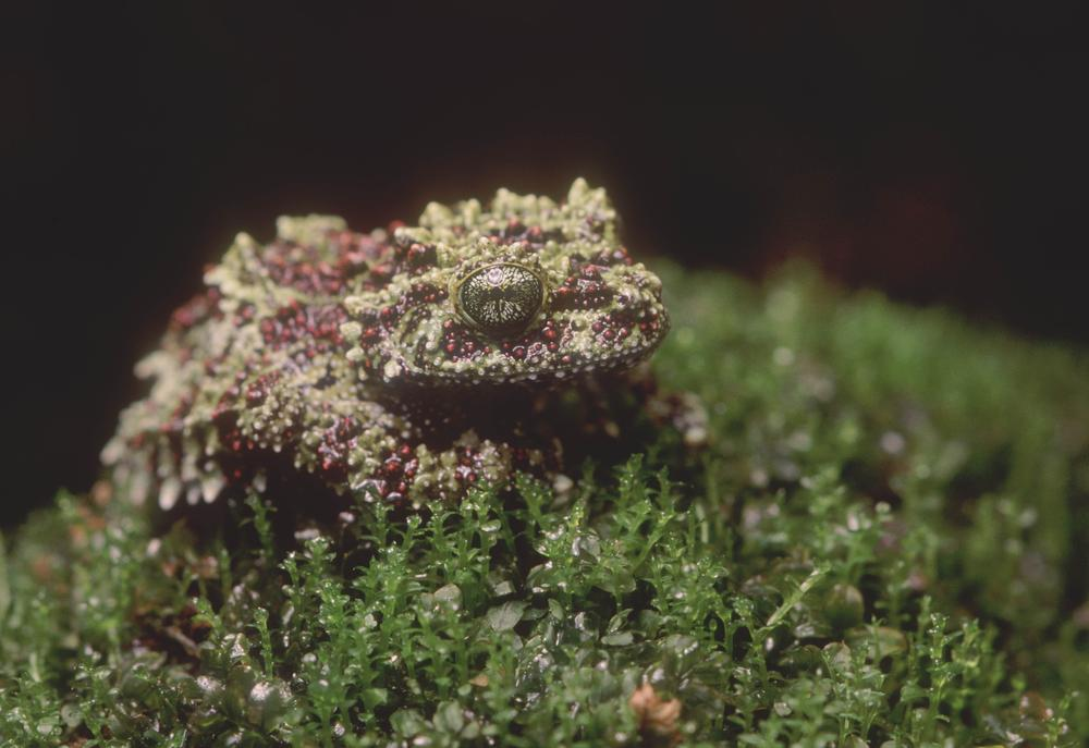 Vietnamese Mossy Frog. (Boston Museum of Science)