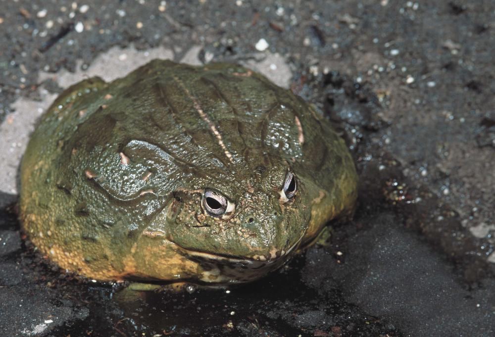 African Bullfrog. (Boston Museum of Science)