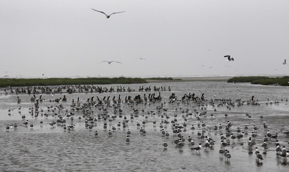 Pelicans and other shore birds are seen, Friday, on Breton Island, La.(AP Photo/Alex Brandon)