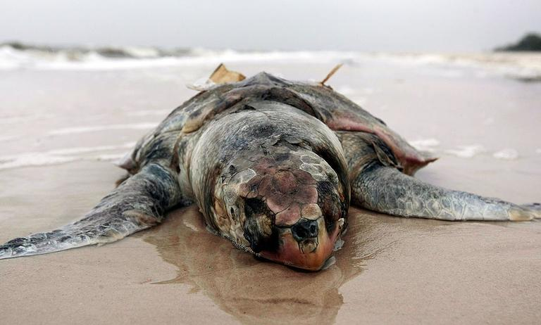 A dead sea turtle lies on the beach in Pass Christian, Miss., on May 2. (AP)