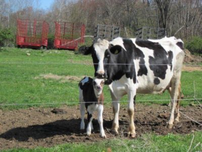 The cows at Robinson Farm in Hardwick are grass-fed to meet the demands of raw milk consumers. (Courtesy Robinson Farm)
