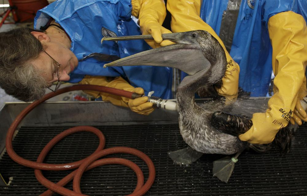 Veterinarian  Erica Miller cleans a Brown Pelican Saturday, at the Fort Jackson Wildlife Rehabilitation Center at Buras, La. The bird was rescued after being  exposed  in an oil spill in the Gulf of Mexico. (AP Photo/Charlie Riedel)