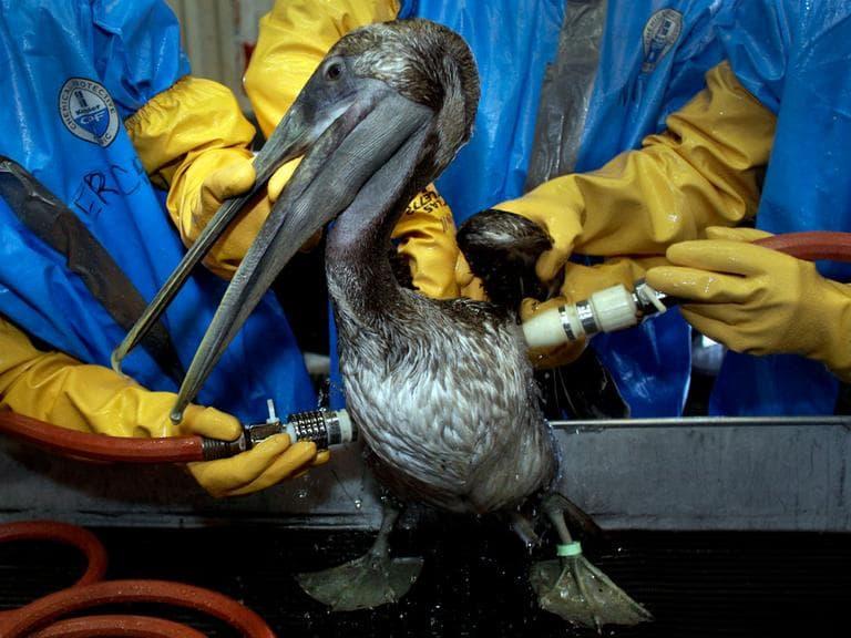 Veterinarians clean a Brown Pelican at the Fort Jackson Wildlife Rehabilitation Center at Buras, La.  (AP)