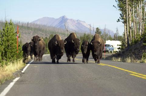 A group of buffalo, also known as American bison, block a lane of traffic in Yellowstone National Park, while walking towards West Yellowstone, Mont. (AP)