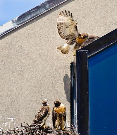 The Red-tailed Hawks outside of an office building in Cambridge, Ma. (Craig Stanfill)