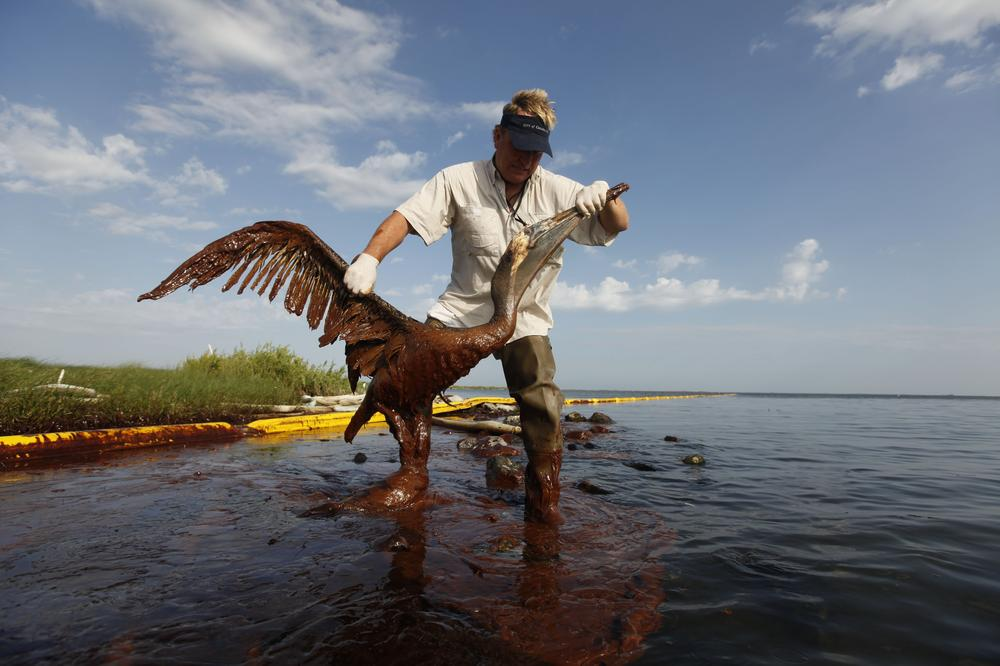 Plaquemines Parish coastal zone director P.J. Hahn lifts an oil-covered pelican which was stuck in oil at Queen Bess Island in Barataria Bay, just off the Gulf of Mexico in Plaquemines Parish, La., Saturday. (AP Photo/Gerald Herbert)