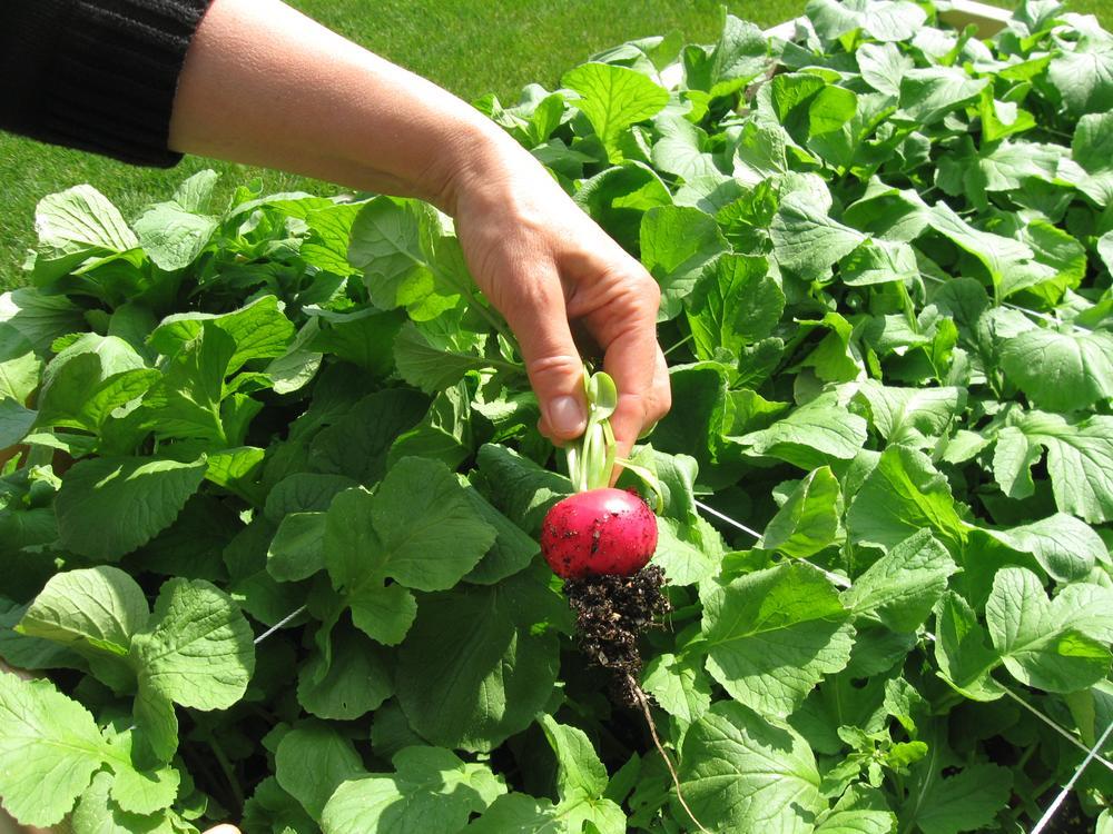A Harvard Pilgrim employee shows off a ripe radish in the company's organic garden. (Sacha Pfeiffer/WBUR)