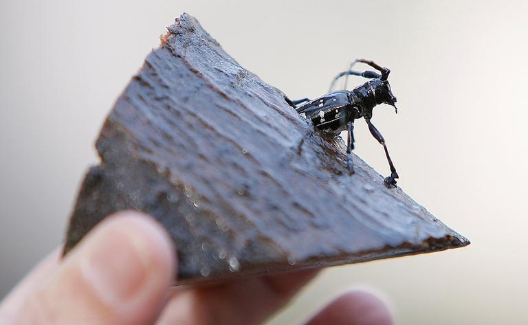The preserved remains of an Asian longhorned beetle in Worcester (AP)