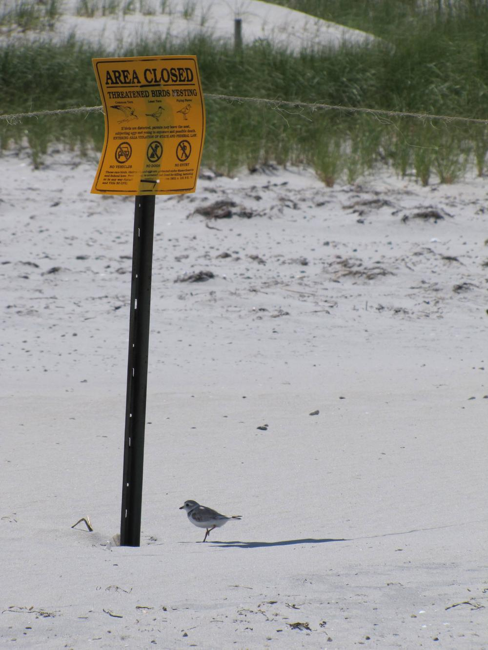 A piping plover is seen next to a sign forbidding beachgoers from driving off-road vehicles near the plovers' nesting grounds. (Courtesy Scott Hecker)