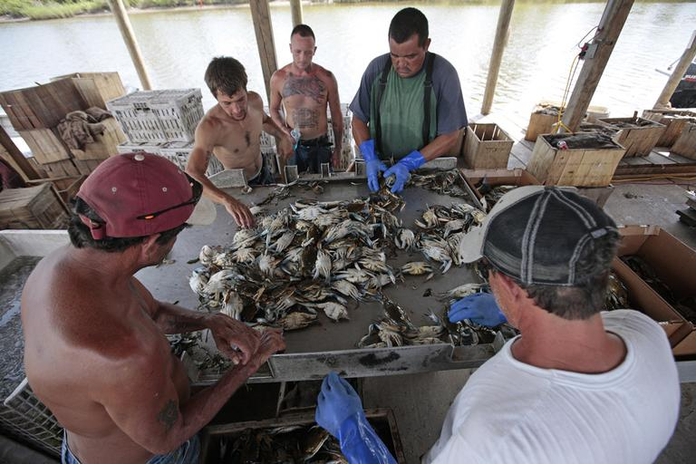 Roy Campo, left, and a crew of fishermen sort a load of blue crabs after hearing that the Deepwater Horizon oil spill being capped in La. on Thursday. (AP)