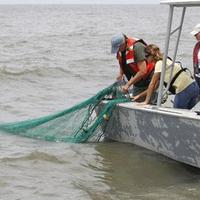 Louisiana Department of Wildlife and Fisheries employees drag a trawl net along the floor of the Gulf of Mexico and Barataria Bay to check for oilon the Louisiana coast, in advance of today's start of the shrimping season. (AP)